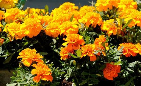 marigolds shade flowers and herbs perfect for a balcony garden newly swissed