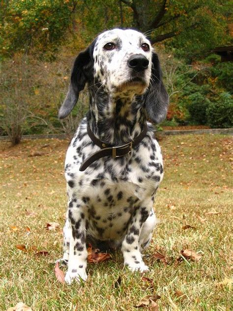rottweiler and dalmation mix 280 best images about mixed breed dogs on australian shepherd mix