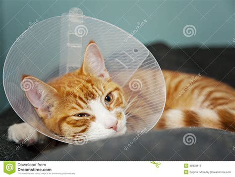 cone after surgery cat with cone after surgery stock photo image 48978113