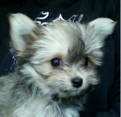 maltese chihuahua mix puppies is a maltese chihuahua mix the right for you