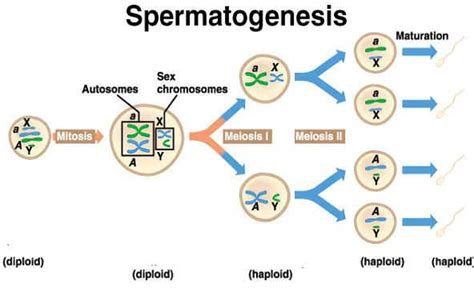 diagram oogenesis 4 best images of stages mitosis diagram label mitosis
