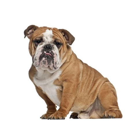Boneka Anjing Buldog Mini 20cm sticker mural bulldog univers animaux chiens