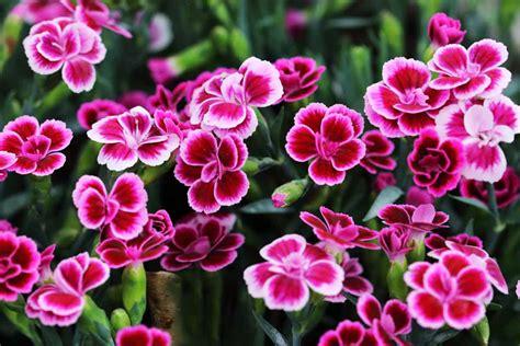 red perennials  bloom  summer garden tabs