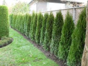 cedar hedge fence gardening pinterest chain links search and plants