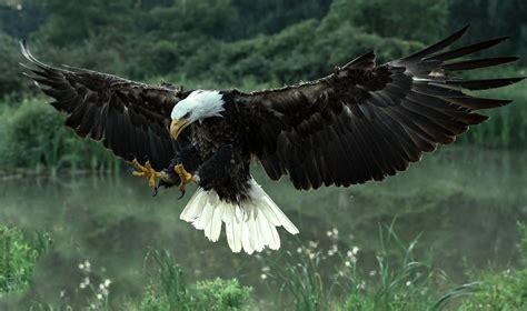 bald eagle desktop wallpaper wallpapersafari