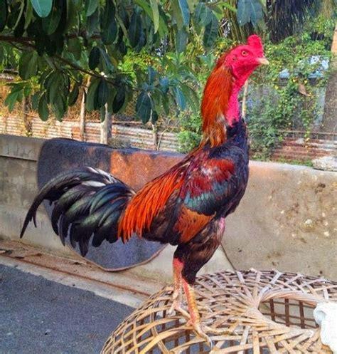Ayam Pelung Unggulan ciri ciri ayam bangkok birma unggulan berkualitas terbaik
