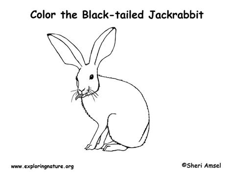 coloring pages jack rabbit pin jack rabbit coloring page color sheet on pinterest