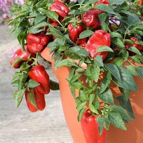 peperoni in vaso peperoni sul balcone orto in balcone coltivare