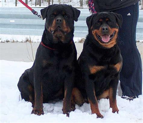 russian rottweiler dog