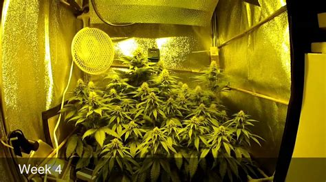 le 600 watt scrog grow part2 flower week 1 5 250w hps pineapple