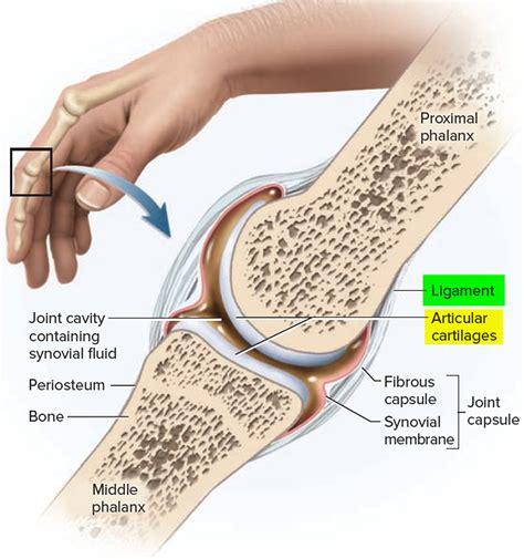 ligament vs tendon google search ligament tendon joints