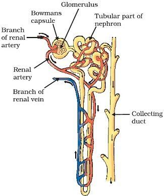 diagram of nephron easy nephron diagram labeled www pixshark images