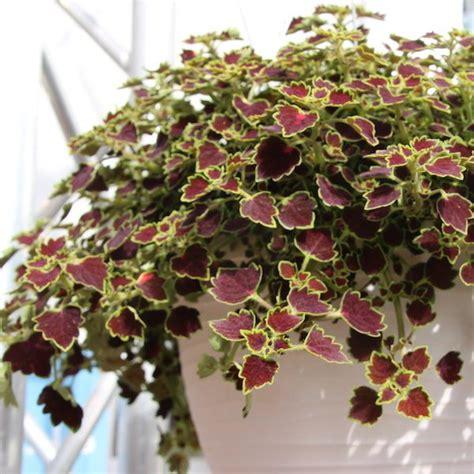 coleus great falls niagara greenhouse product news