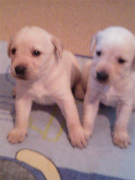 yellow lab puppies for sale nj pin labradoodle puppies for sale uk on