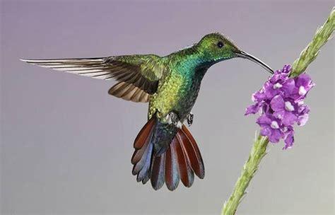 colorful hummingbirds colorful hummingbirds pictures