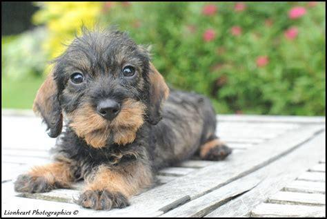 teckel pups ruwharige te koop ruwharige teckel te koop - Honden Te Koop