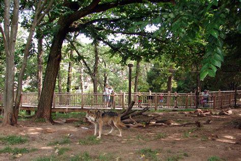 brookfield zoo koala related keywords brookfield zoo