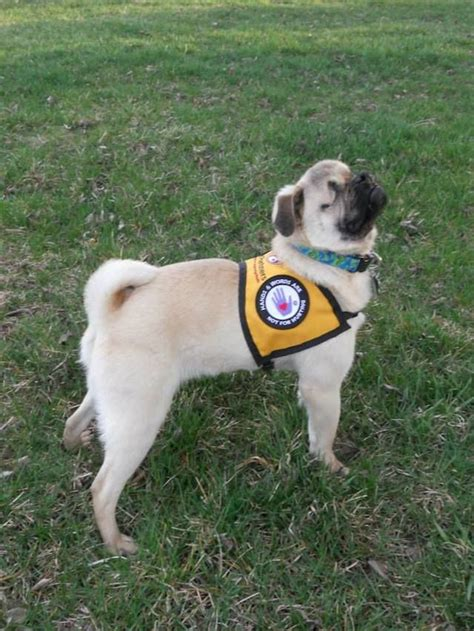pug service xander the pug a blind service who helps humans and animals alike