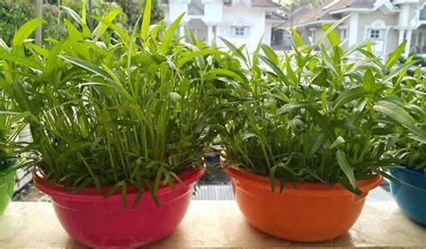 menanam cara hidroponik cara menanam kangkung hidroponik di baskom 7 tahapan
