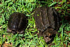 Snapping turtles image page