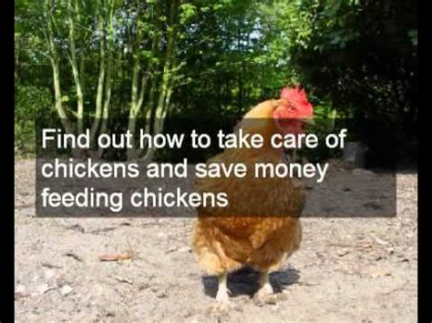 8 Tips On Caring For Chickens by How To Care For Chickens Basic Tips On Feeding Chickens