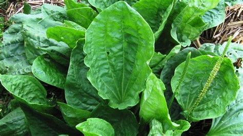 Daun Meniran Segar Per Batang daun sendok ciri ciri tanaman serta khasiat dan