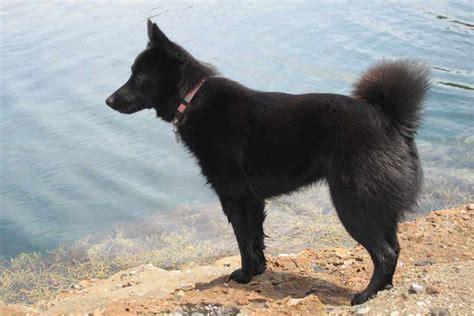 schipperke dogs schipperke breed standards