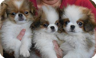 Japanese Chin Picture Japanese Spaniel Picture Breeds Picture