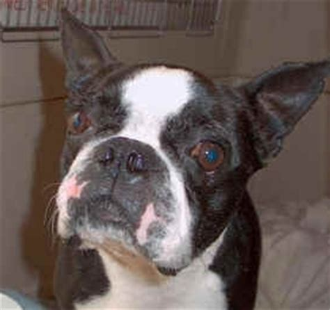 rescues in nj boston terrier rescue in new jersey