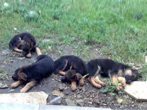 Anak Anjing Herder anak anjing herder 11 by d3v1l0m3n on deviantart