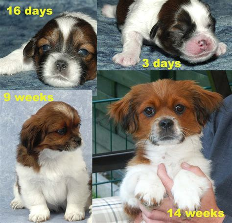 how much are shih tzu 4 month shih tzu how much larger breeds picture