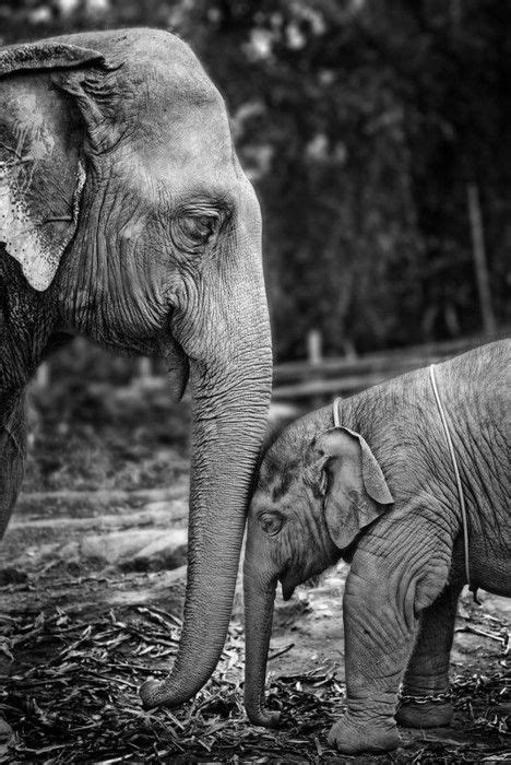 elephant kissing tattoo 25 best african elephants images on pinterest african