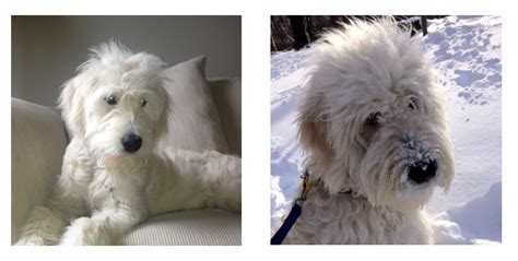 goldendoodle puppies for sale ny teddy goldendoodle puppies for sale in ny breeds picture