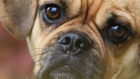 best food to feed your 4 best foods to feed your and puppy puggle