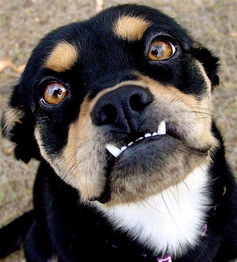 puppy underbite animals with underbites barnorama