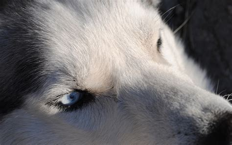 husky wallpaper blue eyes siberian husky black white hd desktop wallpapers 4k hd