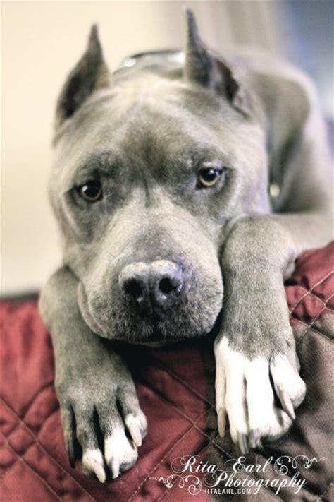 pitbulls and parolees dogs villalobos pit bulls for adoption breeds picture