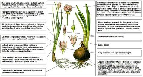 tavole di nomenclatura erba cipollina