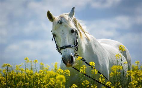 horse  field  yellow flowers meadow desktop hd