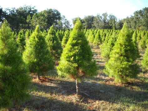 christmas tree farms with real estate in monroe or carbon county pa tree farms in florida