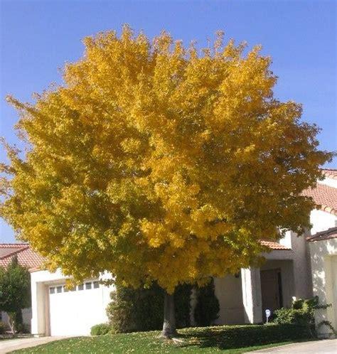fan tex ash tree fan tex rio grande ash tree fraxinus desert trees