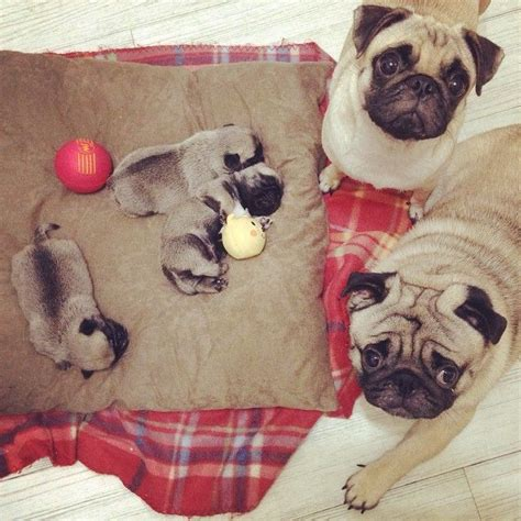 baby and pug puppies best 25 baby pugs ideas on pugs pug puppies