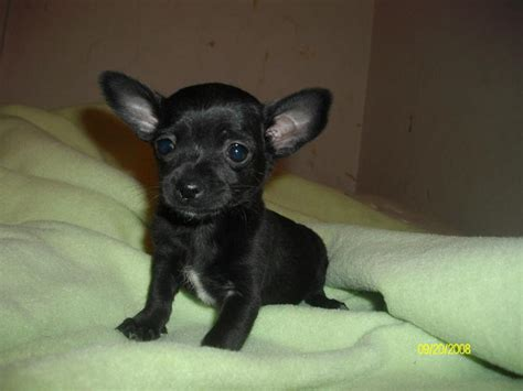 black chihuahua puppies the black chihuahua puppy farfl the wonderdog