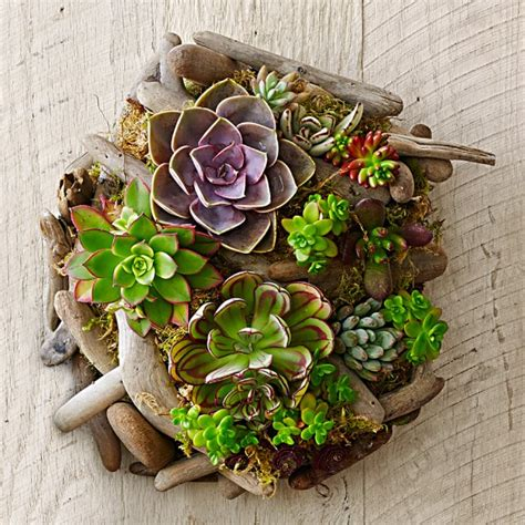 Succulent Wall Garden For Sale Succulent Driftwood Wall Williams Sonoma