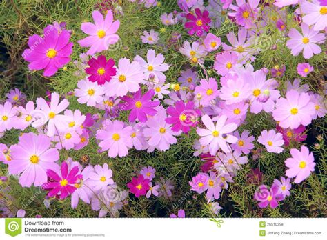 cosmos flowers royalty free stock photos image 26510358