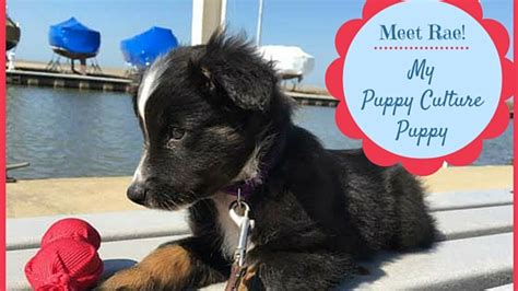 puppy culture meet quot quot my puppy culture puppy play to behave