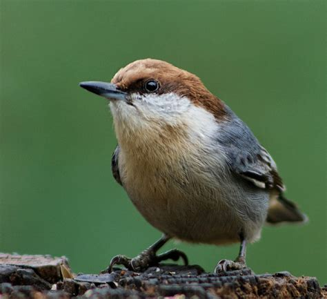 brown headed nuthatch ebirdr