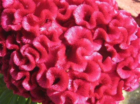 fiori creste di gallo cresta di gallo foto immagini piante fiori e funghi