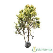 Tanaman Hias Cemara Embun tanaman cemara embun bibitbunga