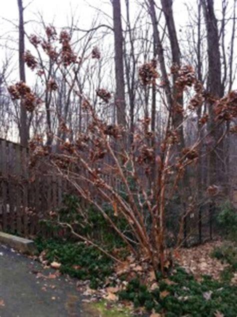Winter Interest in the Garden - A Gardener's Delight Oak Leaf Hydrangeas In Winter